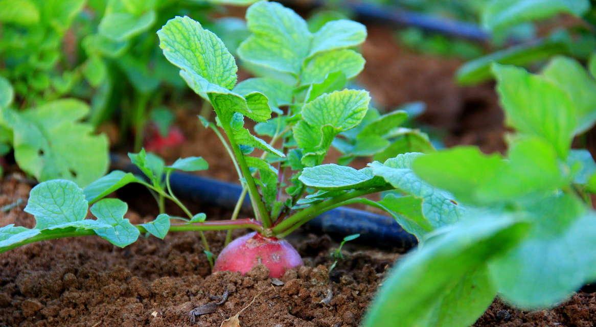 ירקות השורש
